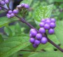 小紫 (こむらさき) の実