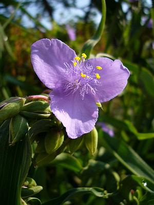 大紫露草 (オオムラサキツユクサ)