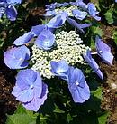 萼紫陽花 (ガクアジサイ)