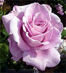 薔薇 (バラ) [ブルームーン]
