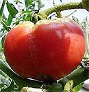トマト の実