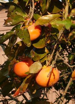 柿 (カキ) の実