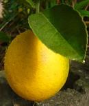 檸檬 (レモン) の実