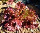 サニーレタス の葉