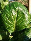 小松菜 (コマツナ) の葉