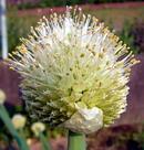 葱 (ネギ) の花