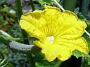 胡瓜(キュウリ) の花