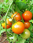 ミニトマトの実