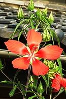 紅葉葵 (モミジアオイ)