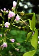 藤甘草 (フジカンゾウ) の花と実