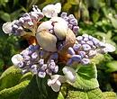 玉紫陽花 (タマアジサイ)