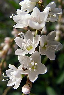 白花桜蓼 (シロバナサクラタデ)