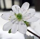 雪割草 (ユキワリソウ)