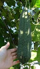 十角糸瓜 (トカドヘチマ) の実