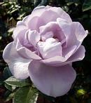 薔薇 (バラ) [ブルー・バユー]
