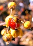 岩梅蔓 (イワウメヅル) の実