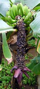 バナナ の花と実