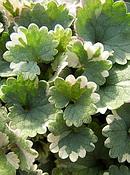 グレコマ の葉