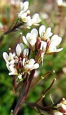 路種漬花 (ミチタネツケバナ)