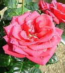 ミニ薔薇 (ミニバラ) [アリカンテ]