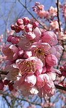 彼岸桜 (ヒガンザクラ)