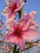 桃 (モモ) の花