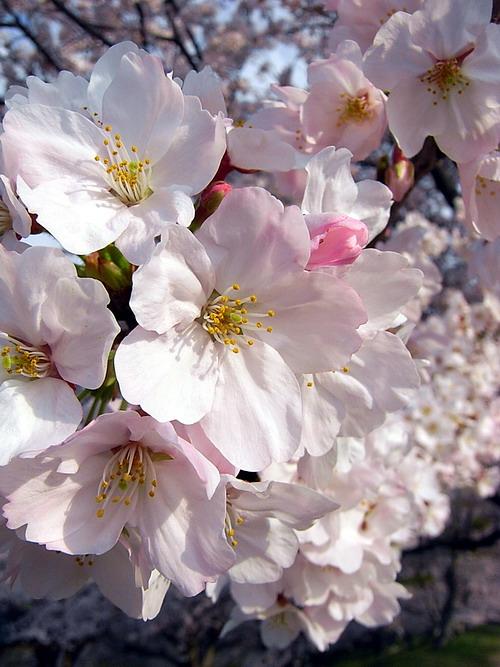 桜 (サクラ) [染井吉野(ソメイヨシノ)]