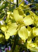 キャベツ の花