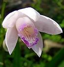 口紅紫蘭 (クチベニシラン)