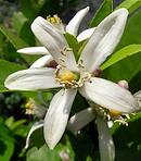 檸檬 (レモン) の花