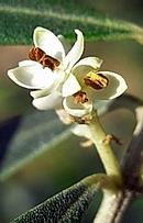 オリーブ の花
