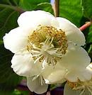 キウイ の花