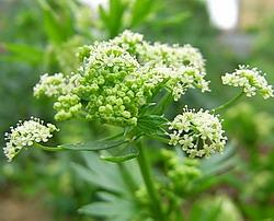 セロリ の花