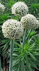 玉葱 (タマネギ) の花