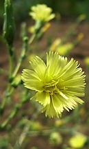 リーフレタス の花