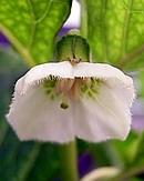 鬼灯 (ホオズキ) の花