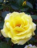 薔薇 (バラ) [伊豆の踊子]