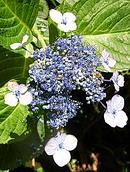 額紫陽花 (ガクアジサイ) [抱き石あじさい]