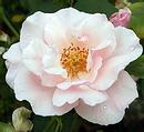 薔薇 (バラ) [スヴニール ドゥ セント アンズ]
