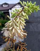 竹似草 (タケニグサ)