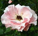 薔薇 (バラ) [ペントハウス]