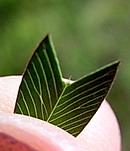矢筈草 (ヤハズソウ) の葉