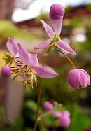 紫錦唐松 (シキンカラマツ)